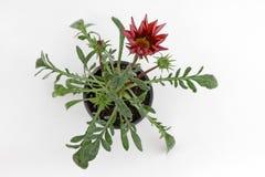 Flor carmesí roja del Gazania con las hojas del verde y los brotes de flor aislados en el fondo blanco para la venta, las decorac foto de archivo