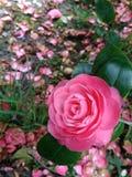 Flor carmesim da camélia no canto esquerdo da imagem imagens de stock royalty free