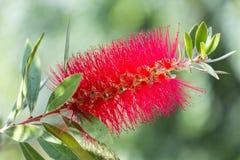 Flor carmesim do Bottlebrush Imagem de Stock Royalty Free