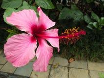 Flor Cayena En Colores Rojizos. Bella flor de Cayena grande en variedad de tonos rojizos stock photo