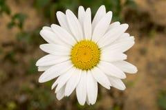 Flor centrada de la margarita Imagen de archivo libre de regalías