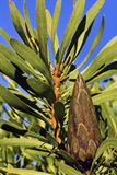 Flor cerrada del Protea Imagen de archivo