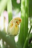 Flor cerrado de la planta del calabacín fotografía de archivo
