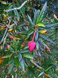Flor chilena da árvore da lanterna Foto de Stock