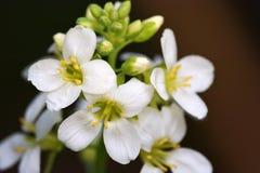 Flor china del bróculi Imágenes de archivo libres de regalías