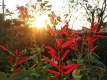 Flor china roja de la galleta (jine del tad del pra) Imagen de archivo libre de regalías