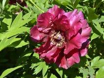 Flor china roja de la peonía Foto de archivo libre de regalías