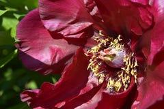 Flor china roja macra de la peonía Imagen de archivo