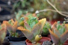 Flor chinesa da couve, planta carnuda Foto de Stock