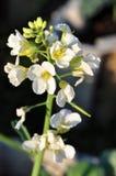 Flor chinesa dos bróculos Imagem de Stock