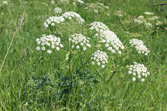 Flor: Cicuta floreciente Imagen de archivo
