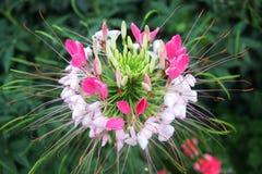 Flor Cleoma Spinosa fotografia de stock