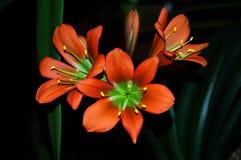 Flor Clivia Miniata fotos de archivo libres de regalías