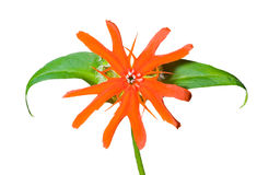 Flor (cognata) de Lychnis 16 Imagem de Stock Royalty Free
