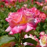 Flor color de rosa colorida en el jardín, bokeh fuerte foto de archivo