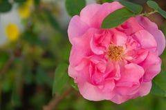 Flor color de rosa coralina en jardín de rosas Visión superior Foco suave Flor iluminada por el sol en el jardín en el rocío de l fotografía de archivo libre de regalías