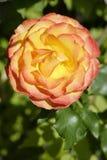 Flor color de rosa de la naranja fotos de archivo libres de regalías