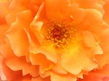 Flor color de rosa de la naranja como fondo Fotos de archivo libres de regalías