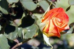 Flor color de rosa de la naranja hermosa Imagenes de archivo