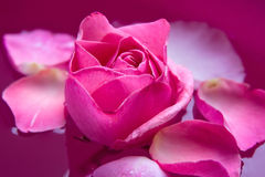 Flor color de rosa de la púrpura Foto de archivo