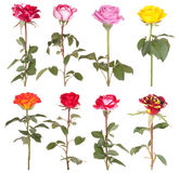 Flor color de rosa de las flores de las rosas
