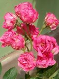 Flor color de rosa del color de rosa fotografía de archivo libre de regalías