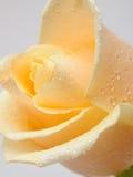 Flor color de rosa del amarillento hermoso con gotas del agua Fotografía de archivo libre de regalías