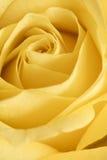 Flor color de rosa del amarillo Imagenes de archivo