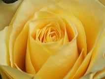 Flor color de rosa del color amarillo fotos de archivo libres de regalías
