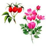 Flor color de rosa del arkansana del Wildflower en un estilo de la acuarela aislada Imagen de archivo