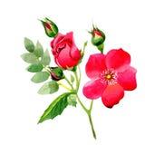 Flor color de rosa del arkansana del Wildflower en un estilo de la acuarela aislada Imágenes de archivo libres de regalías