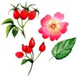 Flor color de rosa del arkansana del Wildflower en un estilo de la acuarela aislada Foto de archivo libre de regalías