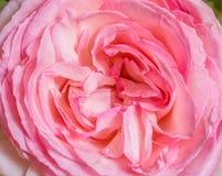 Flor color de rosa del color de rosa Imagen de archivo libre de regalías