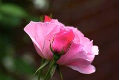 Flor color de rosa del color de rosa Fotos de archivo