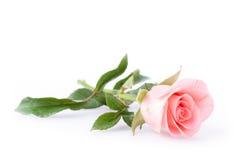 Flor color de rosa del color de rosa Fotografía de archivo