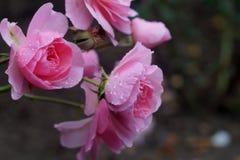 Flor color de rosa del color de rosa Imagen de archivo