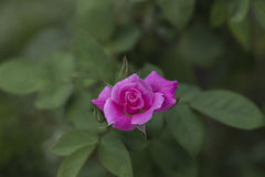 Flor color de rosa del color de rosa Imagenes de archivo