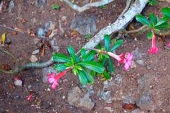 Flor color de rosa del desierto Foto de archivo