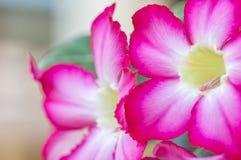 Flor color de rosa del desierto Imagenes de archivo