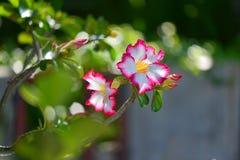 Flor color de rosa del desierto Fotos de archivo libres de regalías