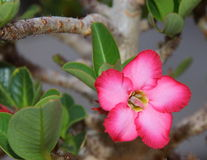 Flor color de rosa del desierto Imagen de archivo