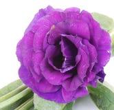 Flor color de rosa del desierto púrpura en blanco Foto de archivo