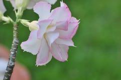 Flor color de rosa del desierto rosado Flores rosadas hermosas Imagen de archivo libre de regalías