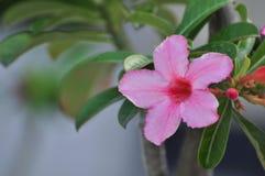 Flor color de rosa del desierto rosado Flores rosadas hermosas Fotografía de archivo