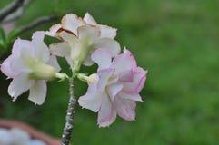 Flor color de rosa del desierto rosado Flores rosadas hermosas Foto de archivo