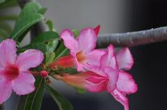 Flor color de rosa del desierto rosado Flores rosadas hermosas Imágenes de archivo libres de regalías