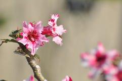 Flor color de rosa del desierto rosado Flores rosadas hermosas Imagenes de archivo