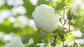 Flor color de rosa del escaramujo blanco en arbusto almacen de metraje de vídeo
