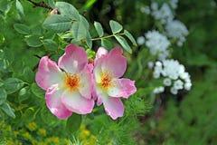 Flor color de rosa del jardín de la cabaña Imagen de archivo libre de regalías