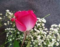 Flor color de rosa del mexicano rosado Imagen de archivo libre de regalías